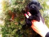 Собаки, щенята Цвергшнауцер, ціна 8000 Грн., Фото