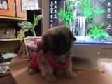 Собаки, щенята Пекінес, ціна 700 Грн., Фото