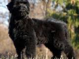 Собаки, щенки Черный терьер, цена 4500 Грн., Фото
