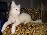 Собаки, щенята Біла Швейцарська вівчарка, ціна 8350 Грн., Фото