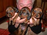 Собаки, щенята Гладкошерста такса, ціна 1000 Грн., Фото