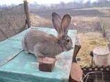 Гризуни Кролики, ціна 170 Грн., Фото