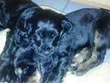 Собаки, щенята Англійський коккер, ціна 800 Грн., Фото