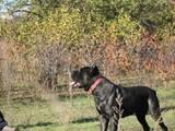 Собаки, щенята Кане Корсо, ціна 5000 Грн., Фото