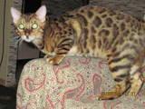 Кошки, котята Бенгальская, цена 6500 Грн., Фото