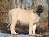 Собаки, щенята Англійська мастіф, ціна 16000 Грн., Фото