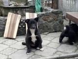 Собаки, щенки Восточно-Сибирская лайка, цена 1800 Грн., Фото