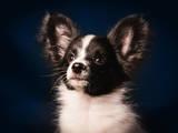 Собаки, щенята Папільон, ціна 10000 Грн., Фото