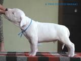 Собаки, щенята Аргентинський дог, ціна 25000 Грн., Фото