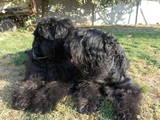 Собаки, щенки Черный терьер, цена 5000 Грн., Фото