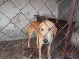 Собаки, щенята Баварський гончак, ціна 1000 Грн., Фото