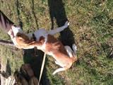 Собаки, щенята Естонський гончак, ціна 3000 Грн., Фото