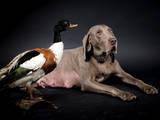Собаки, щенята Веймарська лягава, ціна 10000 Грн., Фото