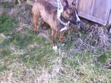 Собаки, щенята Англійська мастіф, ціна 2000 Грн., Фото