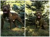 Собаки, щенята Поденко ібіценко, ціна 4000 Грн., Фото