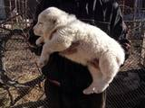 Собаки, щенки Среднеазиатская овчарка, цена 4000 Грн., Фото