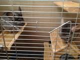 Грызуны Шиншиллы, цена 1500 Грн., Фото