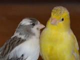 Папуги й птахи Канарки, ціна 600 Грн., Фото