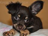 Собаки, щенки Русский длинношерстный тойтерьер, цена 8000 Грн., Фото