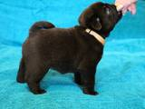 Собаки, щенки Мопс, цена 15000 Грн., Фото