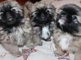 Собаки, щенята Пекінес, ціна 5000 Грн., Фото