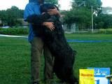 Собаки, щенята Чорний тер'єр, ціна 5500 Грн., Фото