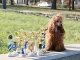 Собаки, щенята Малий пудель, ціна 8000 Грн., Фото