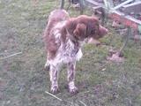 Собаки, щенята Німецька жорсткошерста лягава, ціна 1150 Грн., Фото