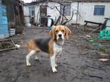 Собаки, щенята Бігль, ціна 11000 Грн., Фото