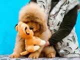Собаки, щенята Тибетський мастиф, ціна 30000 Грн., Фото