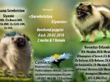 Собаки, щенята Вольфшпіц, ціна 9000 Грн., Фото