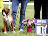 Собаки, щенки Боксер, цена 15000 Грн., Фото