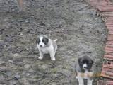 Собаки, щенки Московская сторожевая, цена 1600 Грн., Фото