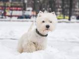 Собаки, щенки Вестхайленд уайт терьер, цена 3500 Грн., Фото