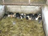 Гризуни Кролики, ціна 120 Грн., Фото