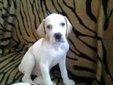 Собаки, щенки Английский пойнтер, цена 10500 Грн., Фото
