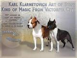 Собаки, щенки Американский стаффордширский терьер, цена 10000 Грн., Фото