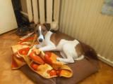 Собаки, щенки Джек Рассел терьер, цена 2800 Грн., Фото