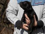 Собаки, щенки Кане Корсо, цена 2500 Грн., Фото