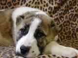 Собаки, щенята Середньоазіатська вівчарка, ціна 9000 Грн., Фото