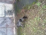 Собаки, щенята Німецька жорсткошерста лягава, ціна 150 Грн., Фото