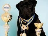 Собаки, щенята Мопс, Фото