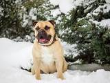 Собаки, щенята Мальоркскій бульдог (Ка Де Бо), ціна 15000 Грн., Фото
