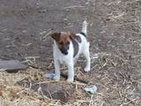 Собаки, щенки Гладкошерстный фокстерьер, цена 500 Грн., Фото
