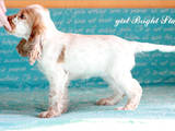 Собаки, щенки Английский коккер, цена 8000 Грн., Фото