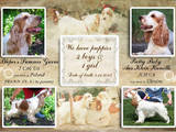 Собаки, щенята Англійський коккер, ціна 8000 Грн., Фото