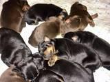 Собаки, щенята Доберман, ціна 300 Грн., Фото