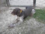 Собаки, щенята Німецька жорсткошерста лягава, ціна 2600 Грн., Фото