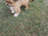 Собаки, щенки Пекинес, цена 300 Грн., Фото