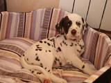Собаки, щенки Далматин, цена 3000 Грн., Фото